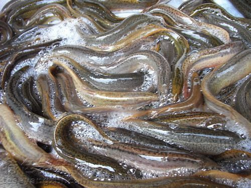 泥鳅的孵化方法