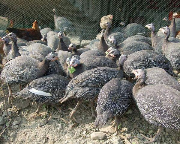 珍珠鸡产蛋期的饲养管理图片