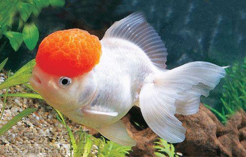 从而刺激金鱼的生长发育