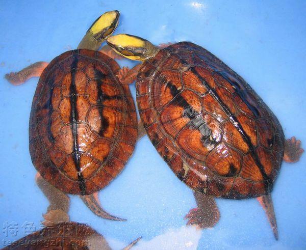 金钱龟人工孵化的注意事项