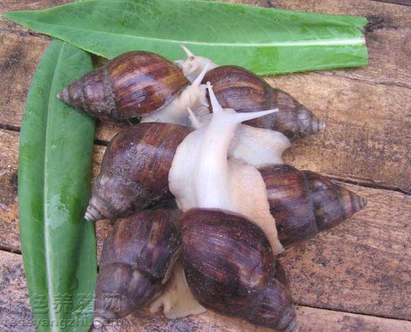 白玉蜗牛的饲养管理