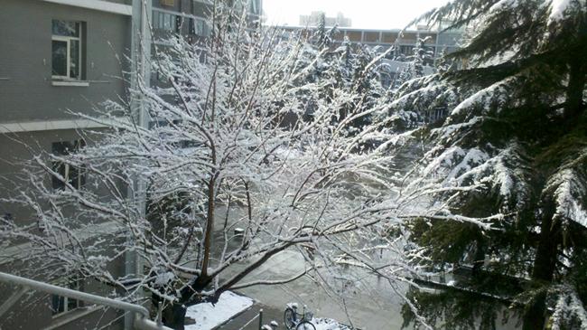 宿舍窗口的枫树和松树,摄于 2012/03/18 9:11am